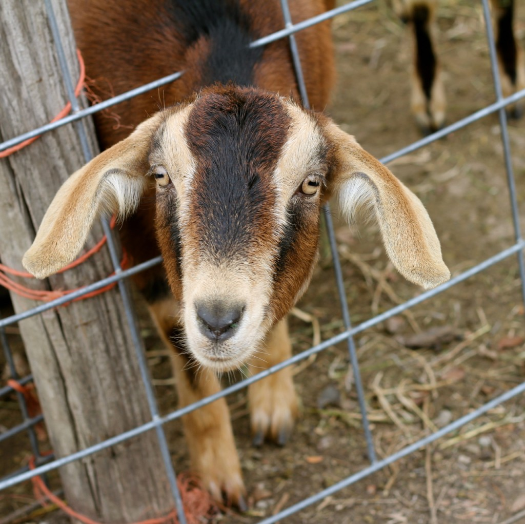 Goats are curious, so are a pleasure to photograph!