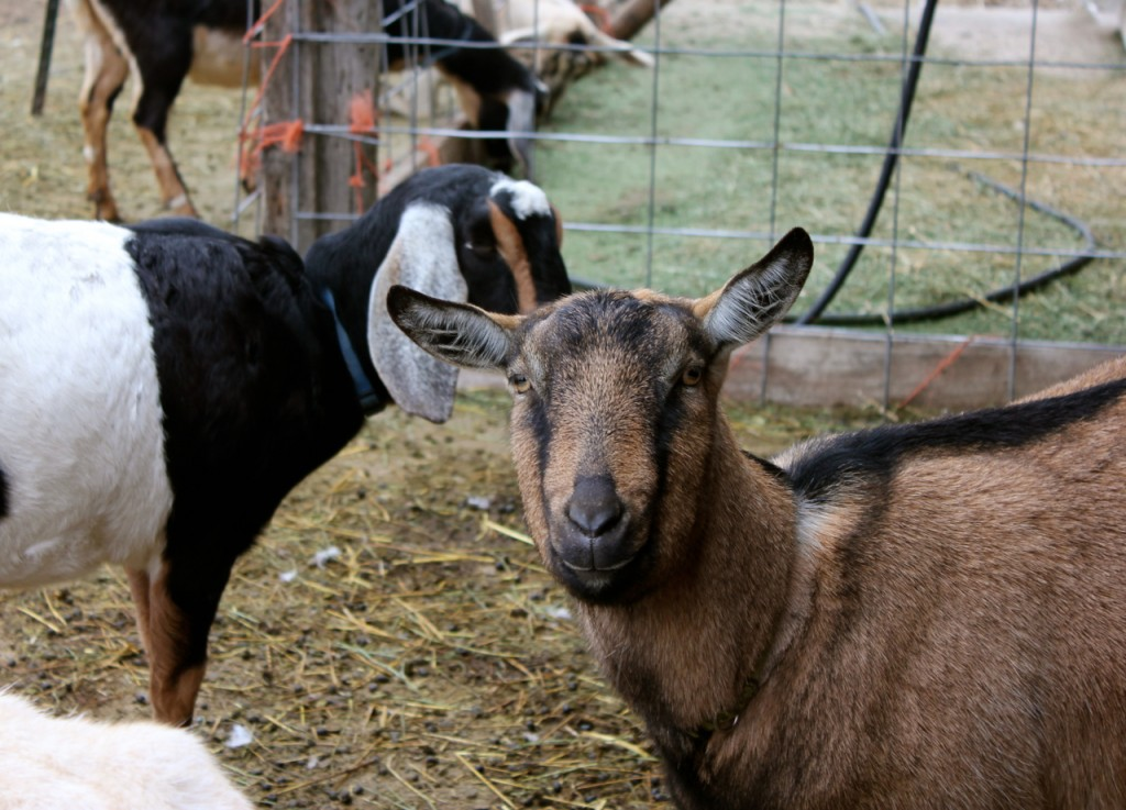 The Alpine goats are the heaviest milkers, and you can spot them by the shorter ears and the fuller faces.