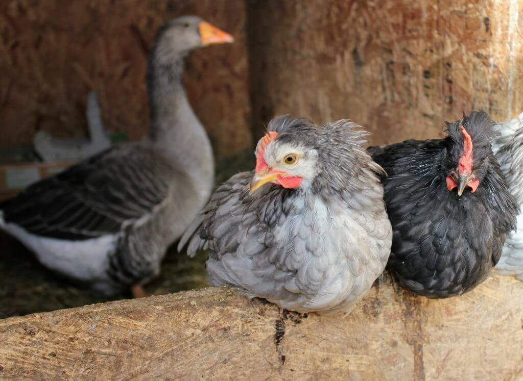 young Icelandic chicks roosting, with mama goose; raising goose with chickens