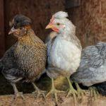 Goosemaid: a bit of henhouse drama