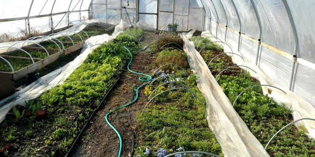 hoop house plantings
