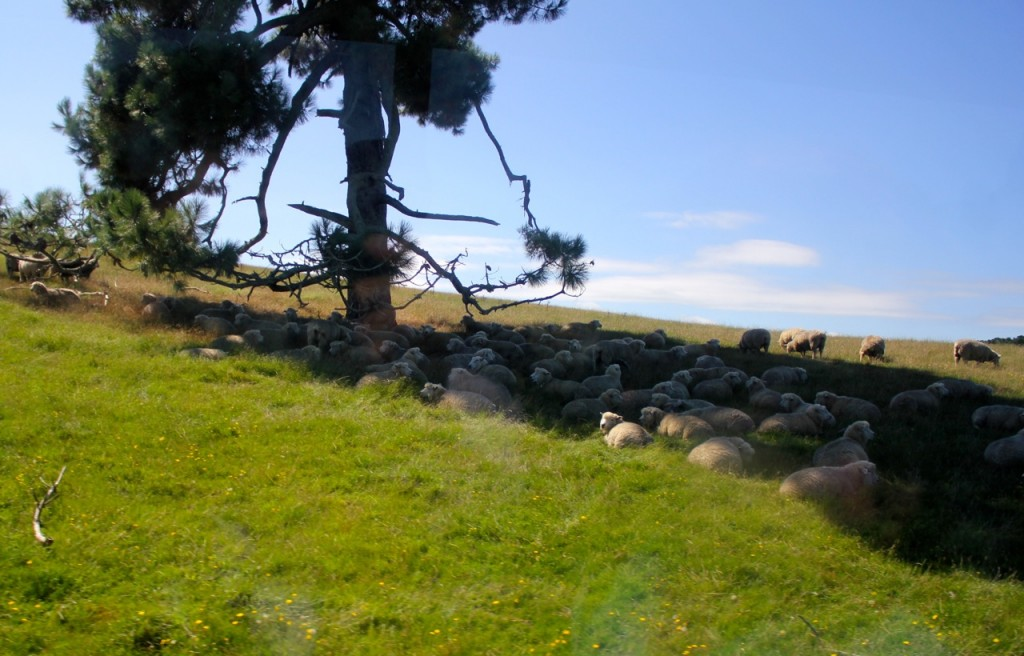Lots of sheep are still raised on the farm where Hobbiton was built.