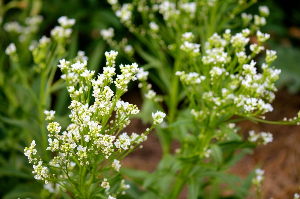 Did you know that horseradish plants put on such beautiful little flowers?