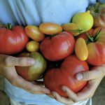 Heirloom tomatoes in my garden: this year's favorites, so far