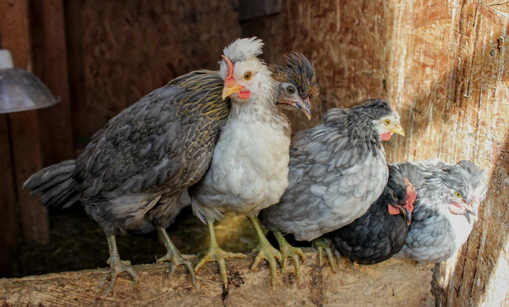 5 Icelandic chicks roosting; raising goose with chickens