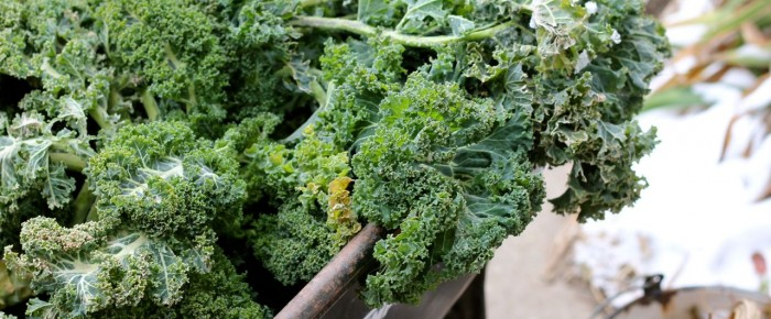 Better late than never: last kale harvest of the year