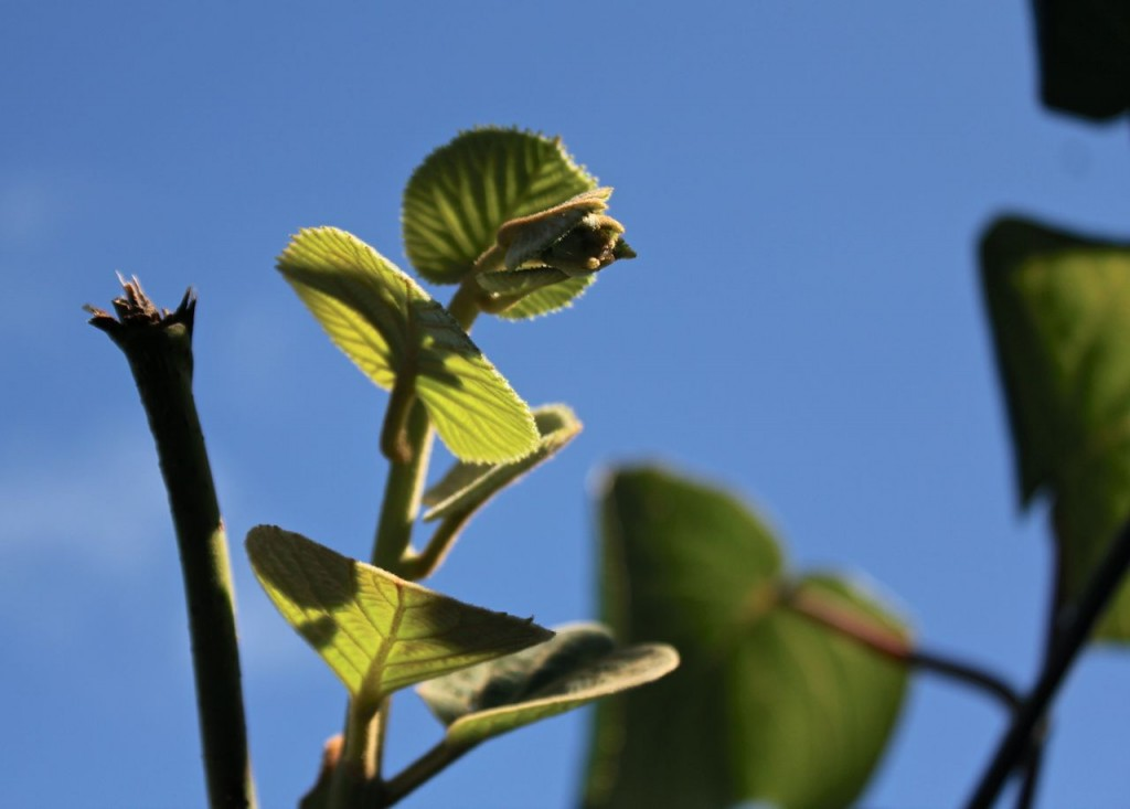 At the end of this sprig are the buds which will develop into next year's kiwifruits.