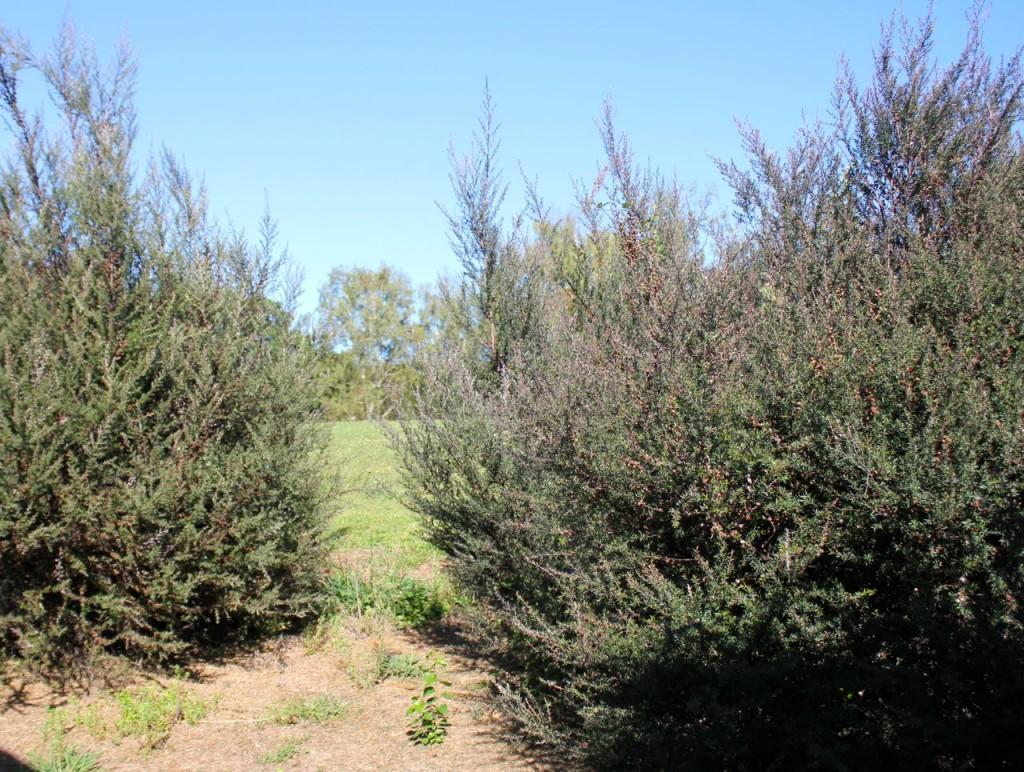 Manuka bushes