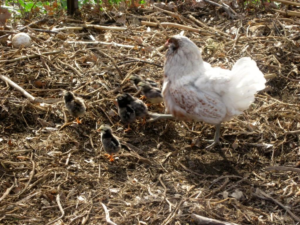 lulu&chicks