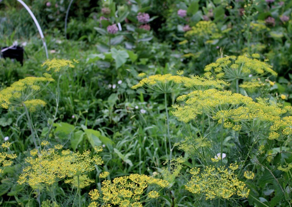 Dill and milkweed grow freely in this area because: butterflies!