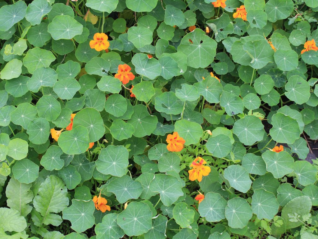 The nasturtiums in my hoop house just get more and more plentiful and prettier and prettier!