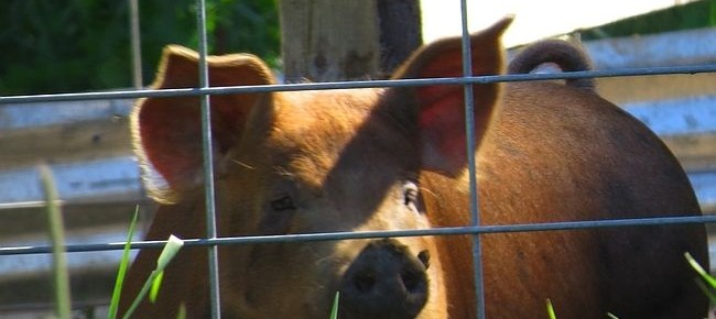 Makin' your own Bacon: raising a pig in the backyard isn't that hard