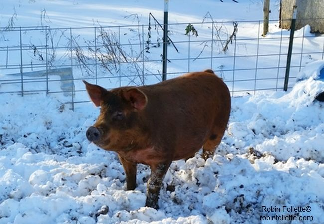 """""""Pig in Snow"""" photo credit Robin Follette"""