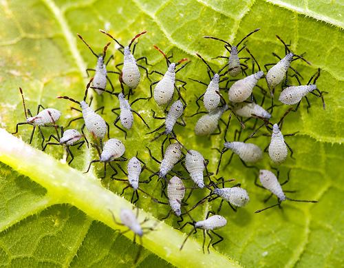 squash-bug-nymphs