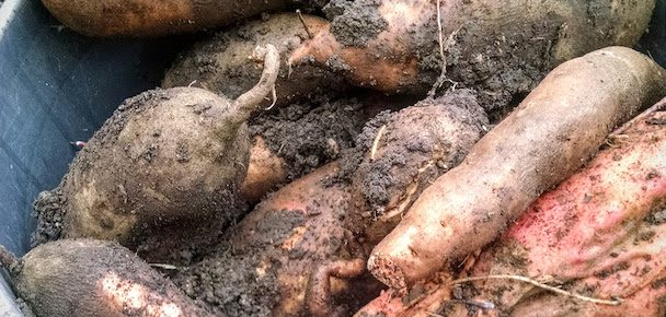 A Tale of Two Sweet Potato Harvests