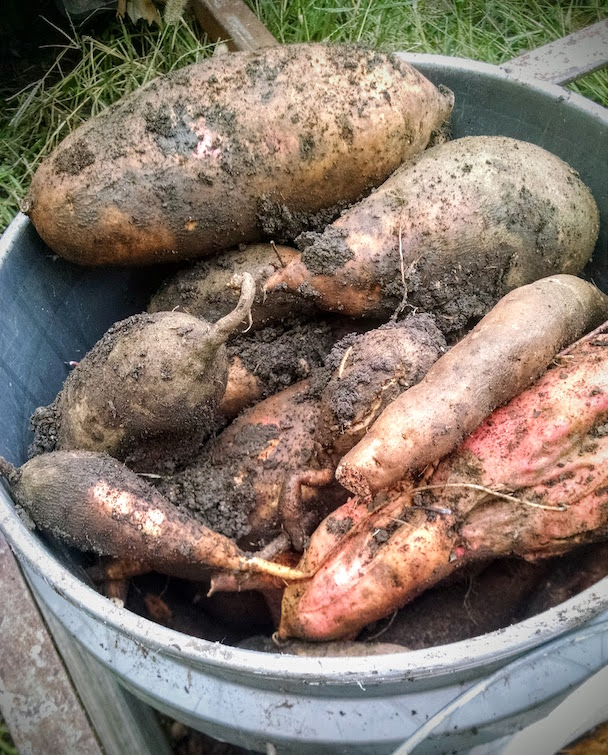 Oh yeah. This is what sweet potatoes ought to look like.