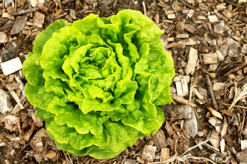 Tom Thumb lettuce, from Baker Creek