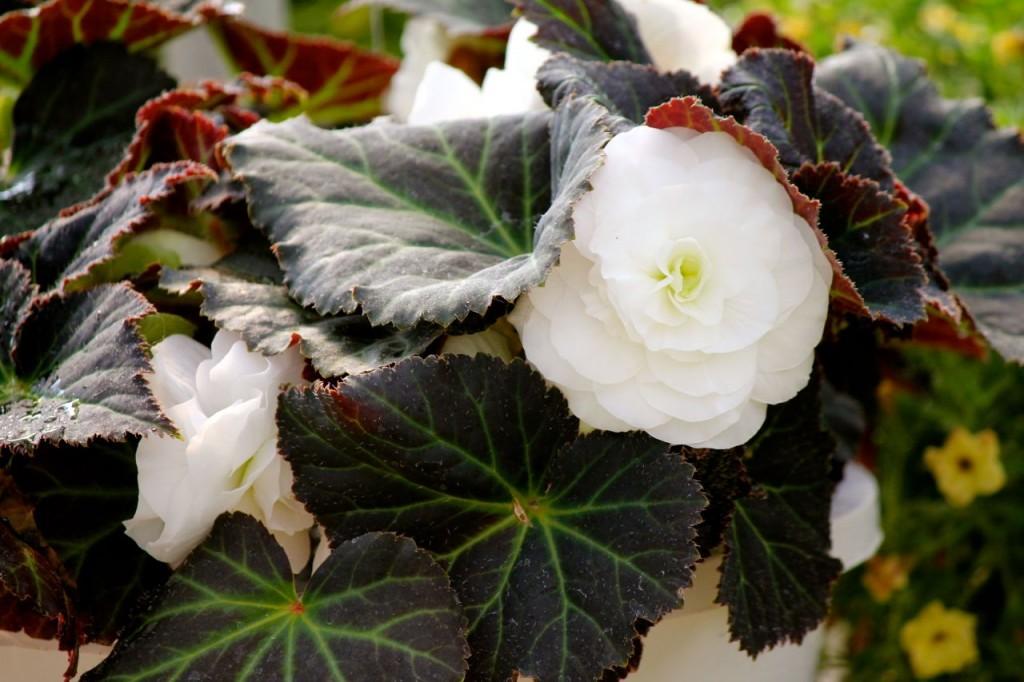 whitebegonia