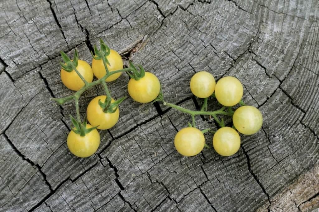 little yellow tomatoes